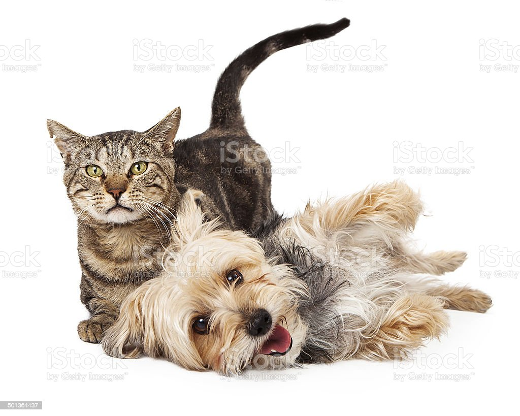 Playful Dog and Cat Laying Together stock photo