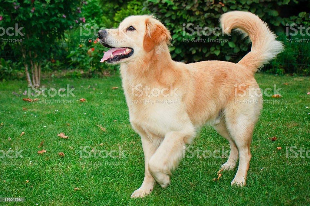 Playful dog royalty-free stock photo
