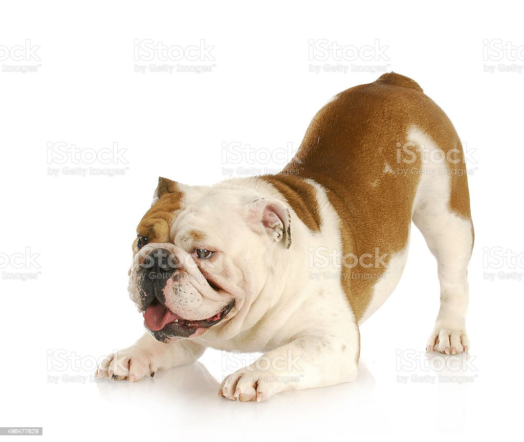 playful dog stock photo