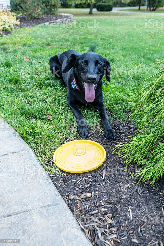 Playful Dog With Yellow Frisbee Plastic Disc Toy stock photo
