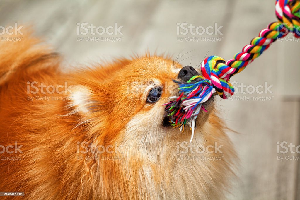 playful dogs play - pulls the toy stock photo