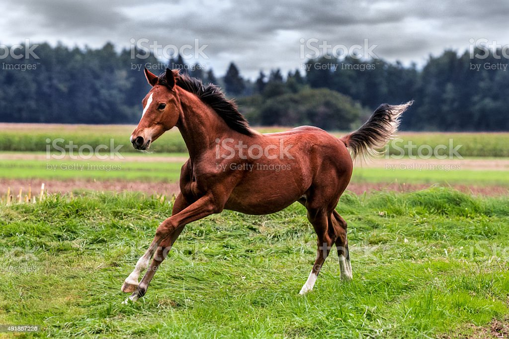 Playful foal is running at pasture on cloudy day stock photo