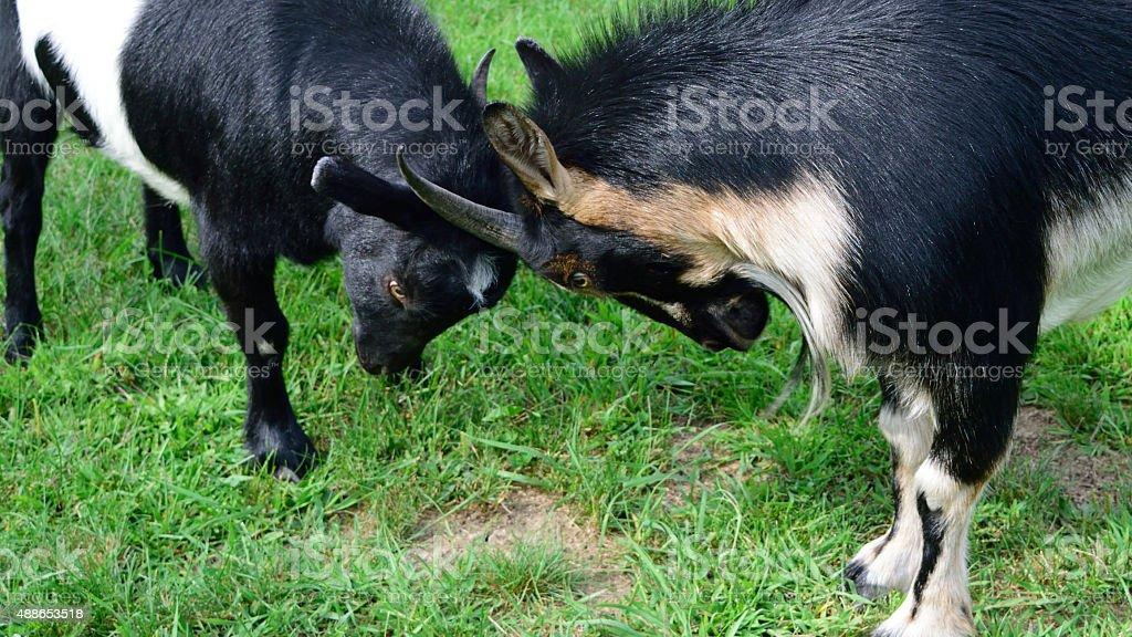 Playful Goats Facing Off stock photo