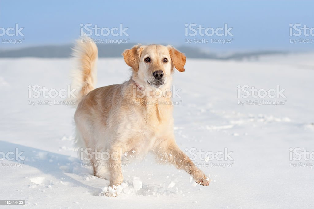 Playful Golden Retriever in the snow royalty-free stock photo