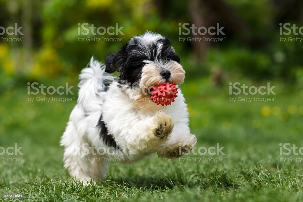 Playful havanese puppy running with his ball stock photo