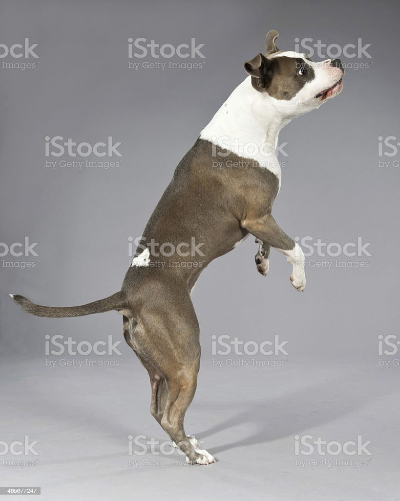 Playful jumping american bull terrier portrait. royalty-free stock photo