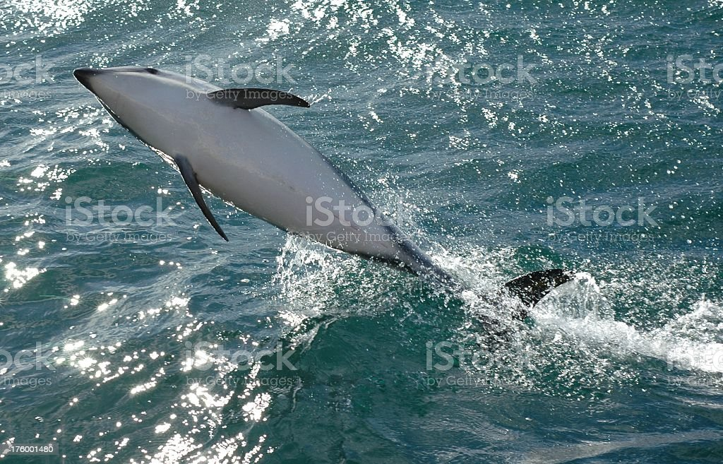 Playful jumping dolphin stock photo
