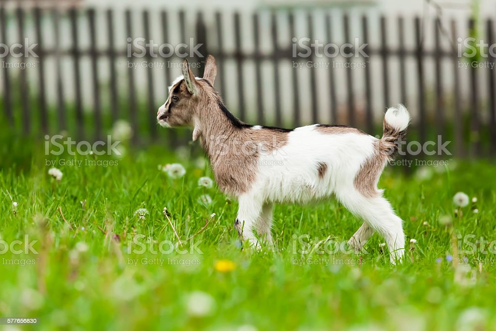 Playful  kids goat stock photo