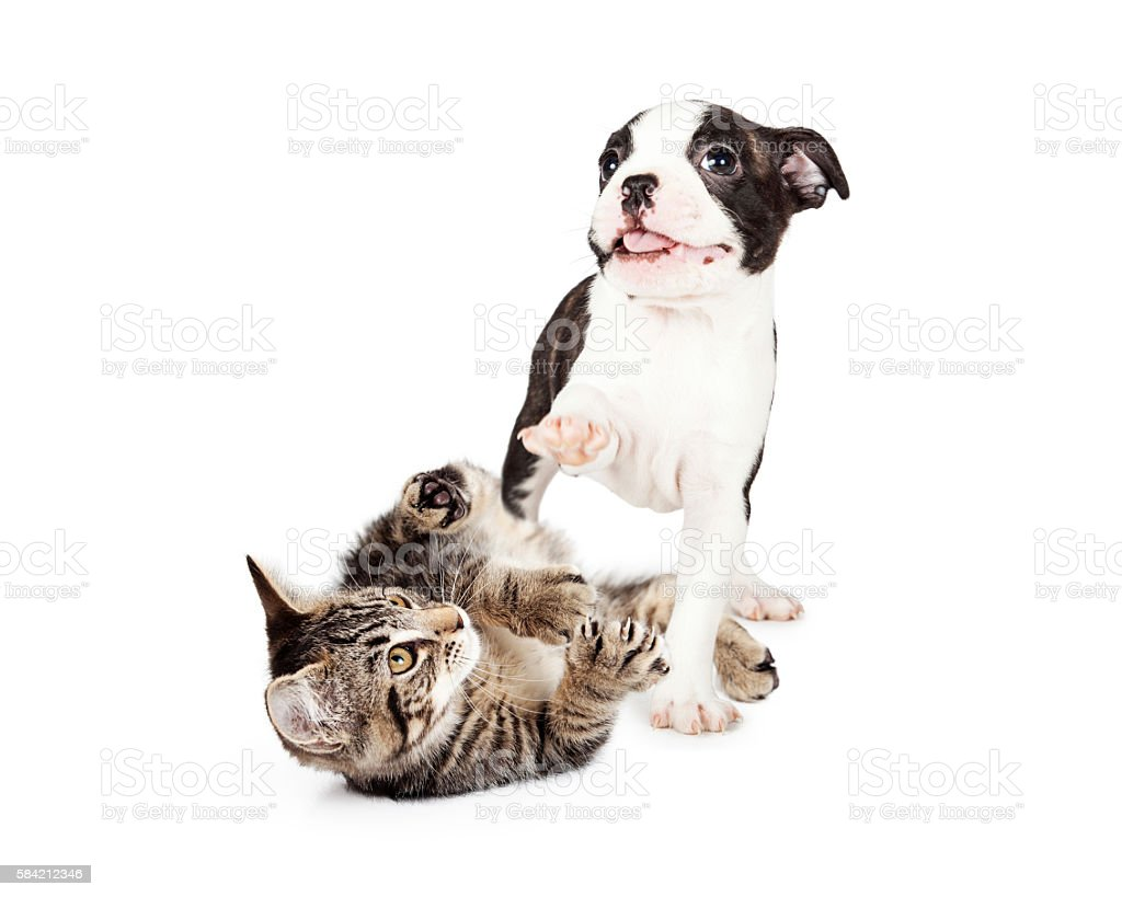 Playful Kitten and Puppy on White stock photo