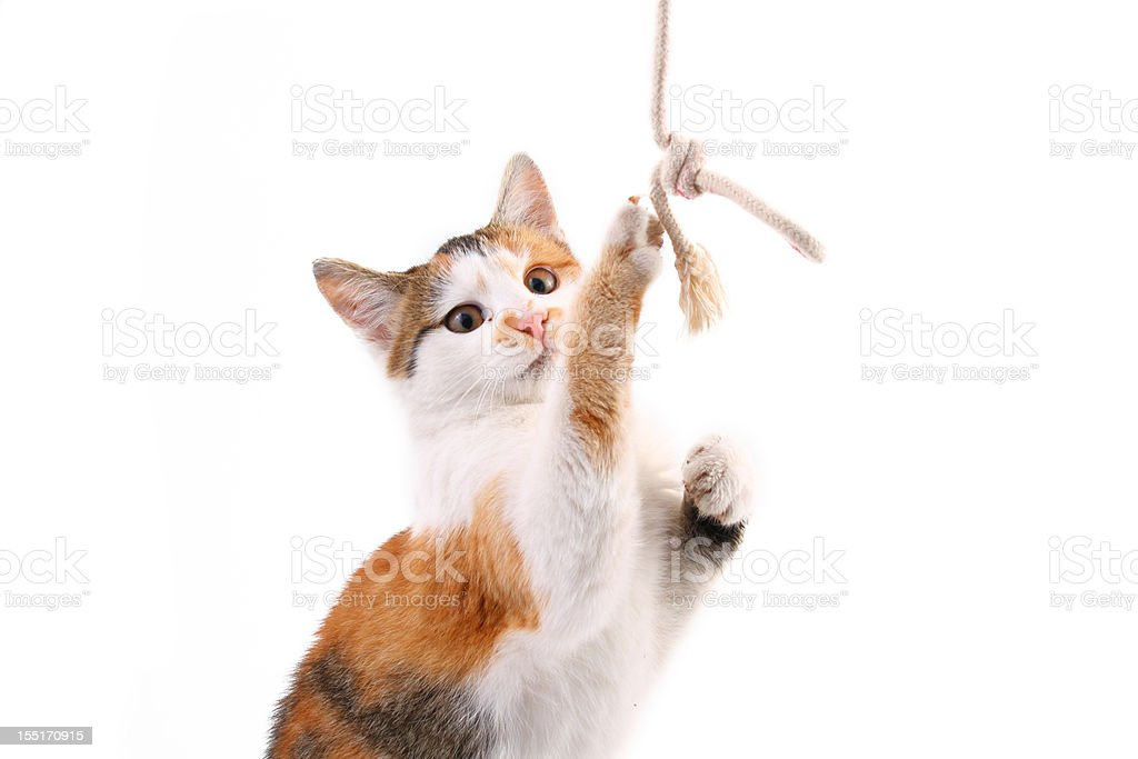 Playful kitten royalty-free stock photo