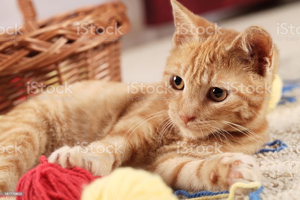 Playful kitty royalty-free stock photo