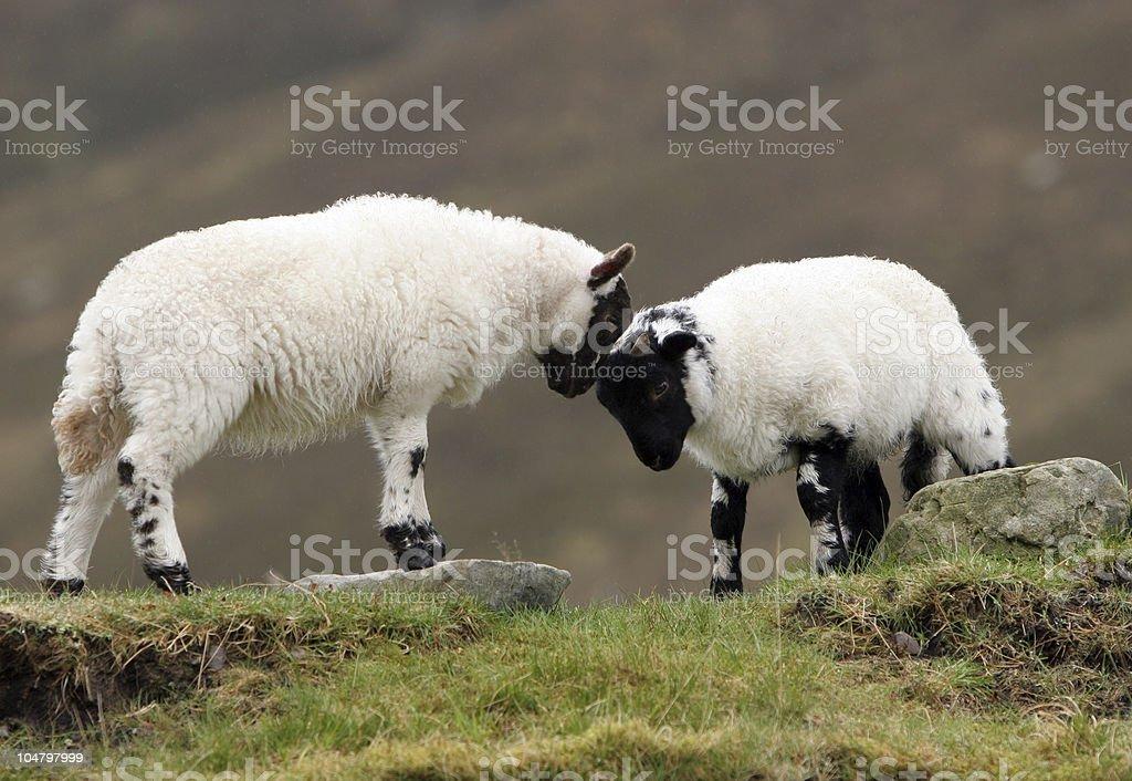 Playful Lambs royalty-free stock photo