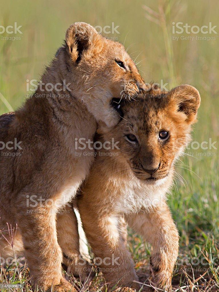 Playful Lion Cubs stock photo