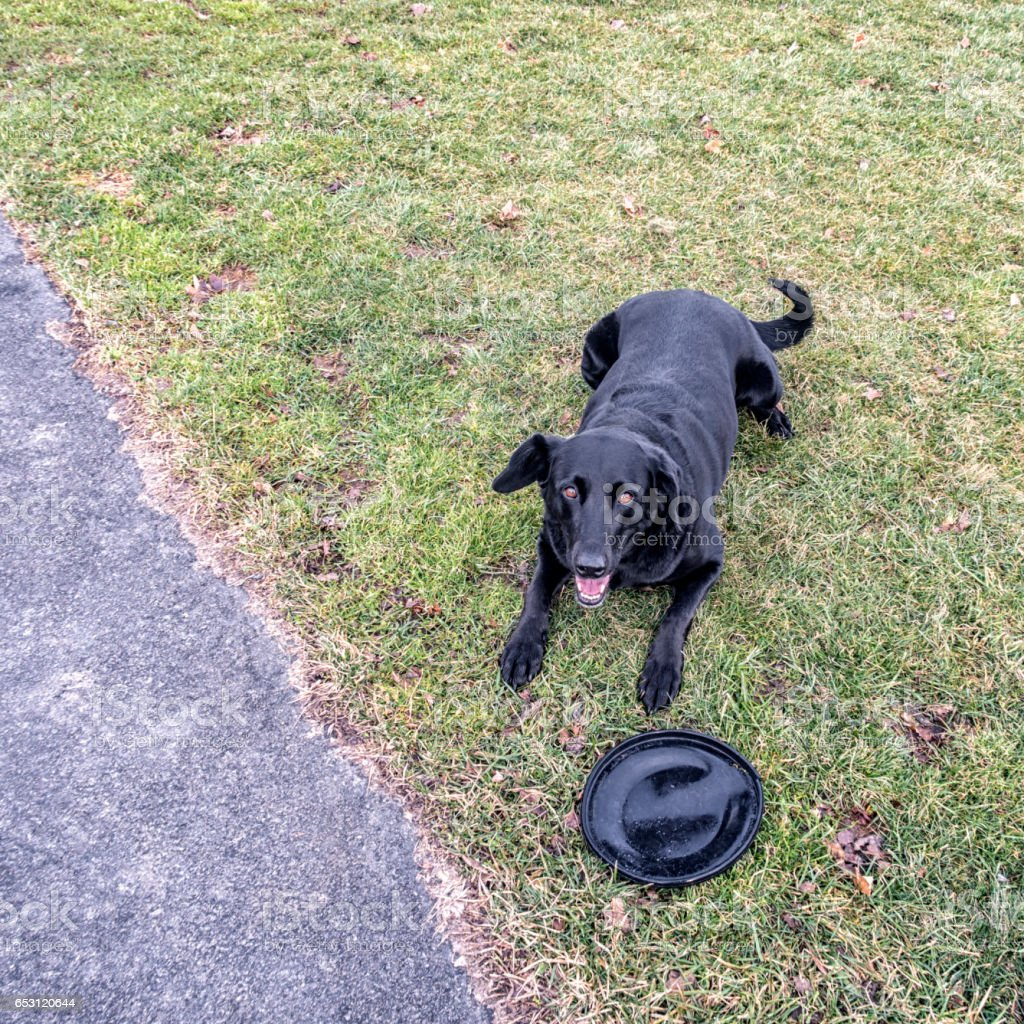 Playful Mixed Breed Labrador Retriever Dog Waiting With Frisbee Toy stock photo