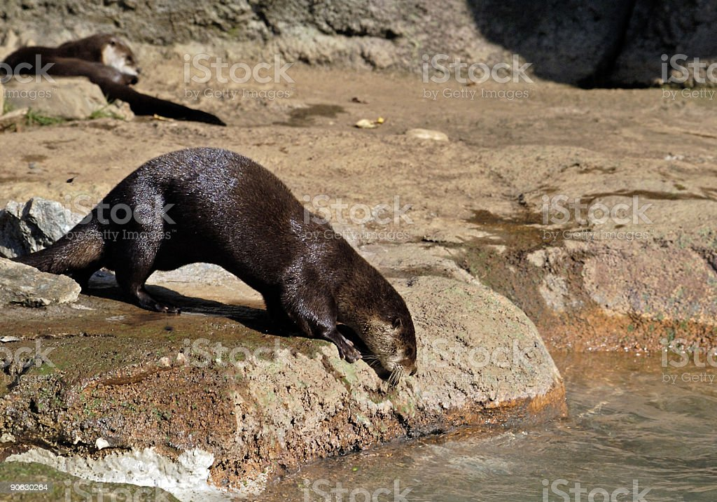 playful otter ready for swim royalty-free stock photo