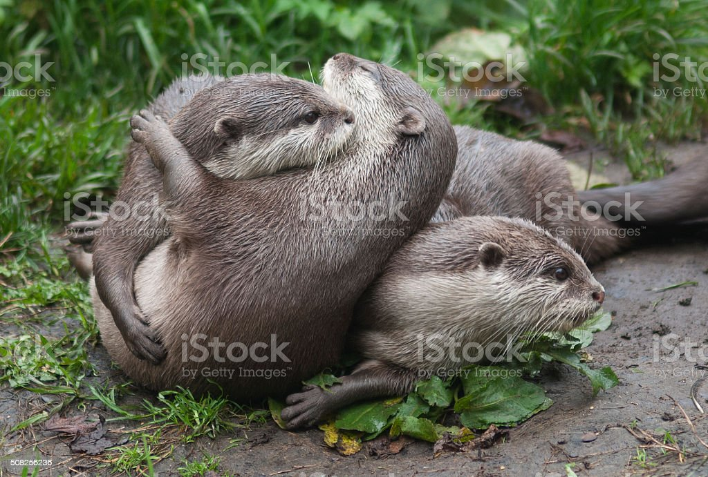 Playful otters stock photo