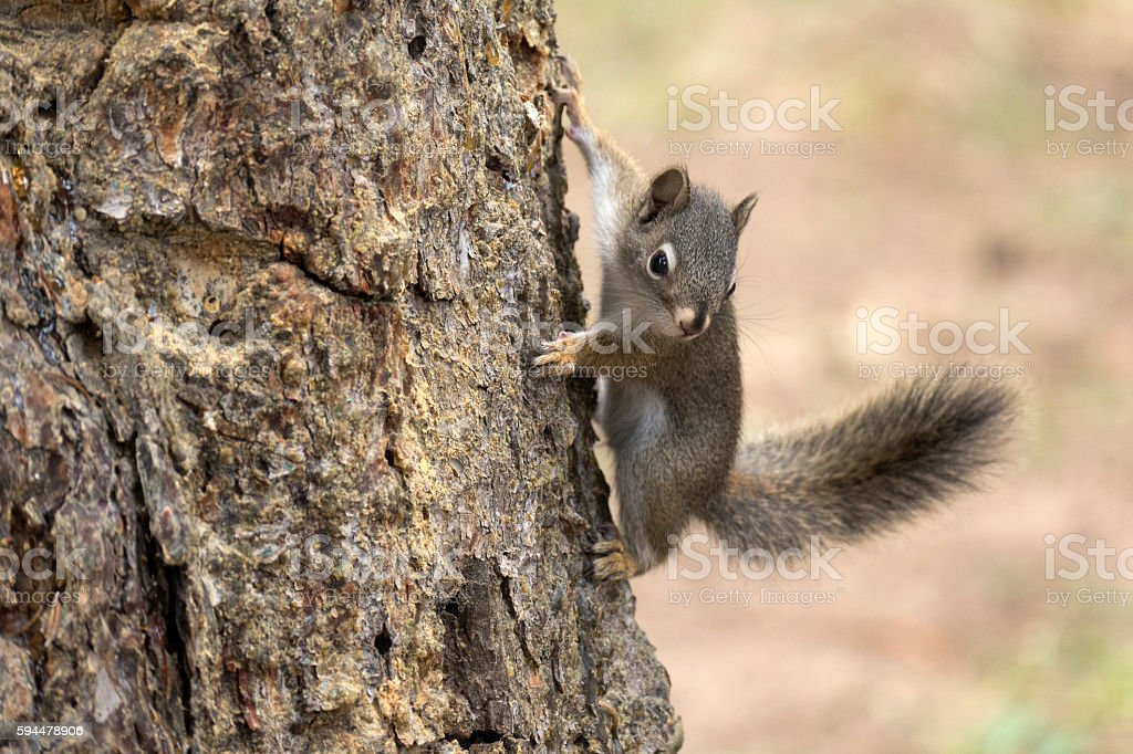 Playful pine squirrel Mount Evans Wilderness Colorado Rocky Mountains stock photo