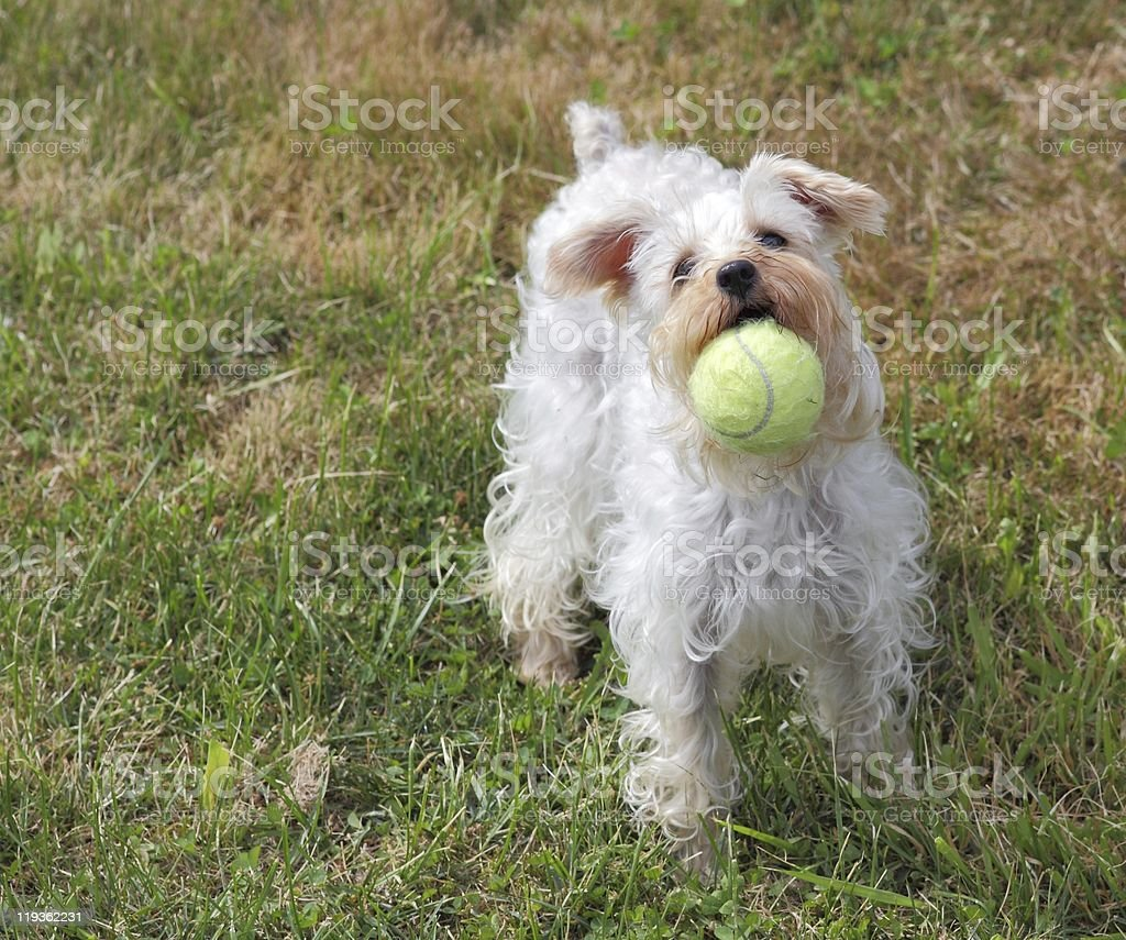 Playful Pup with Ball royalty-free stock photo