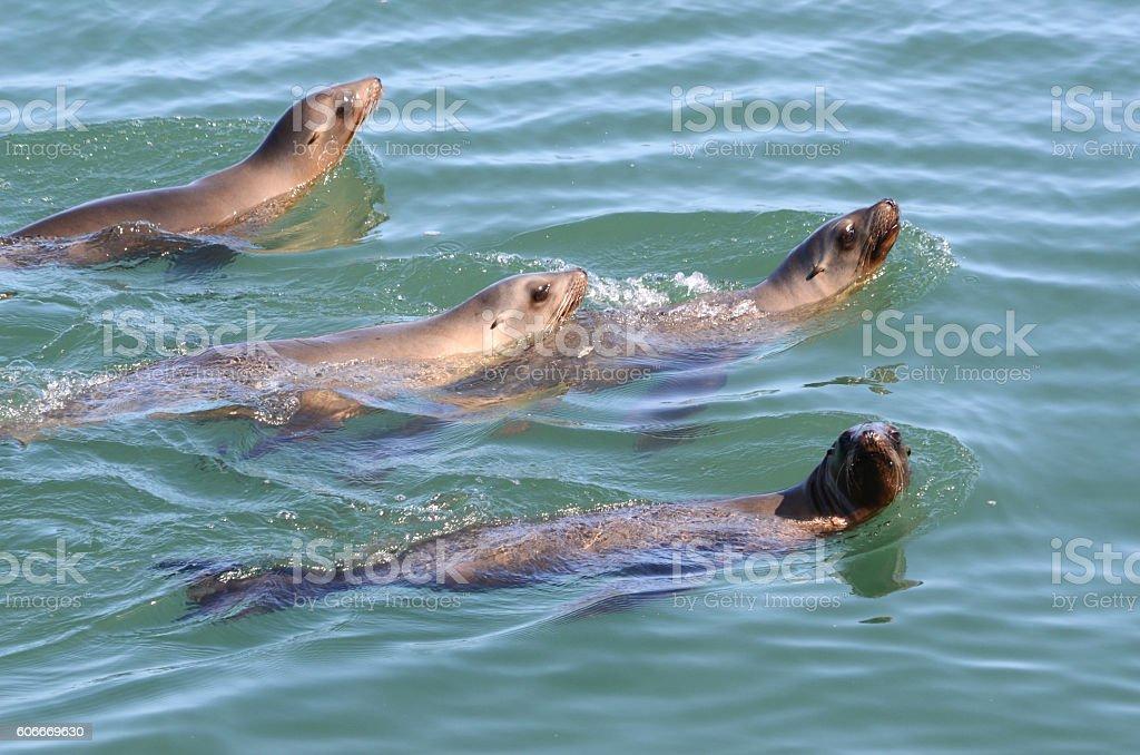 Playful Sea Lions in Montery Bay near Santa Cruz stock photo