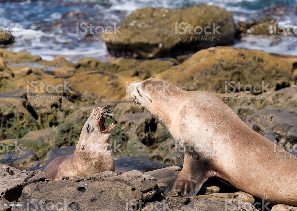 Playful Sea Lions stock photo