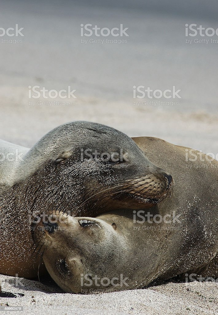 Playful Sea Lions royalty-free stock photo