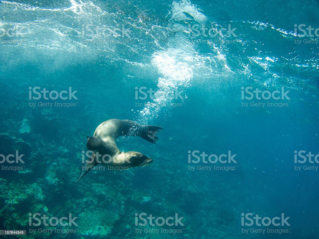 Playful Sealion Leaves a Bubble Trail Underwater in Galapagos Sea stock photo