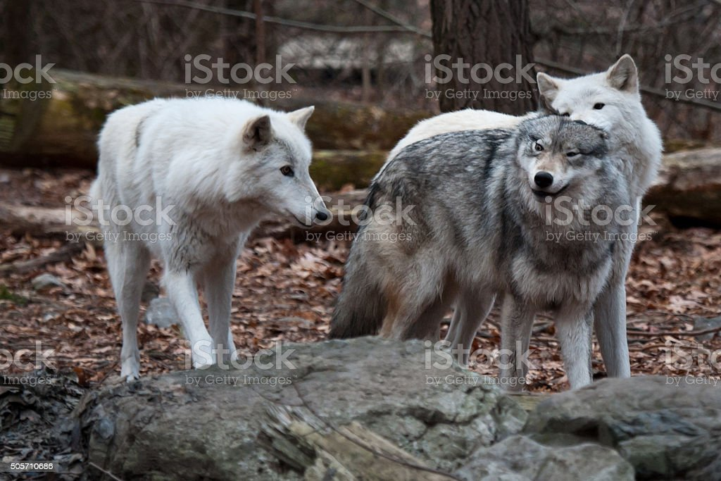 Playful Wolves stock photo