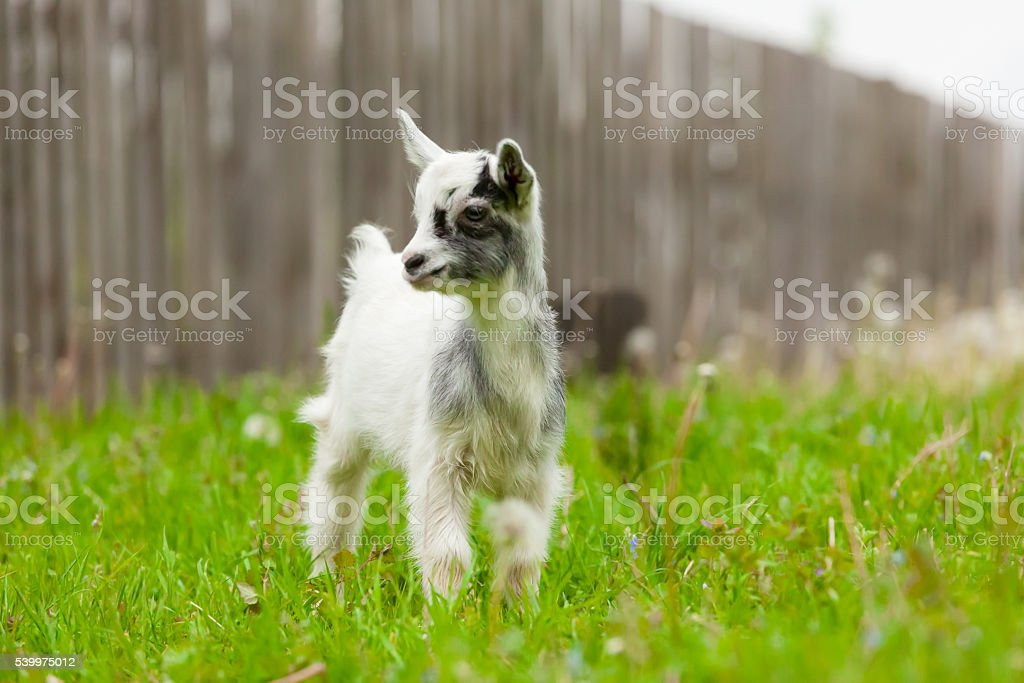 Playful young goat. stock photo