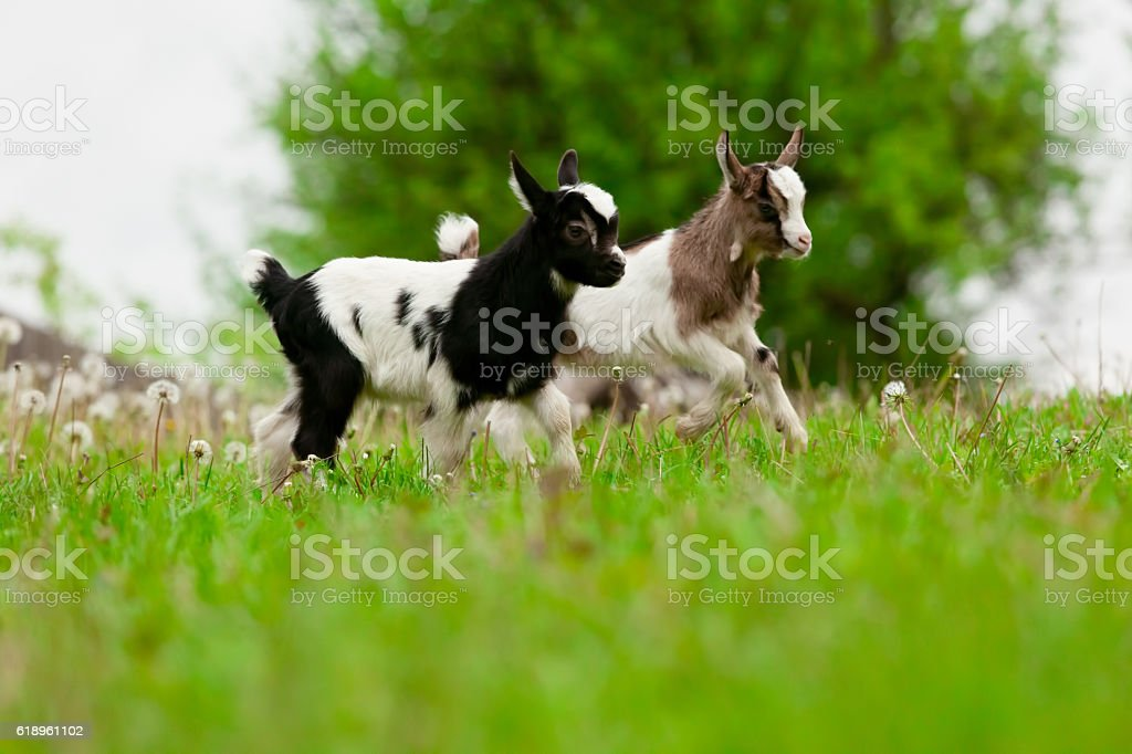Playful young goats stock photo