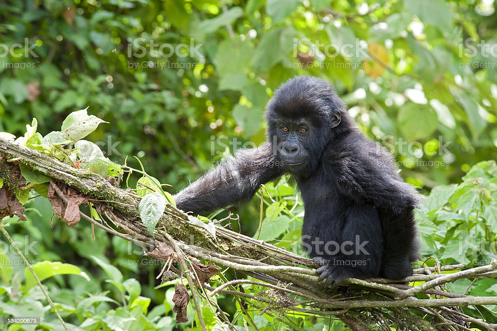 playful young Gorilla in Congo, wildlife shot stock photo