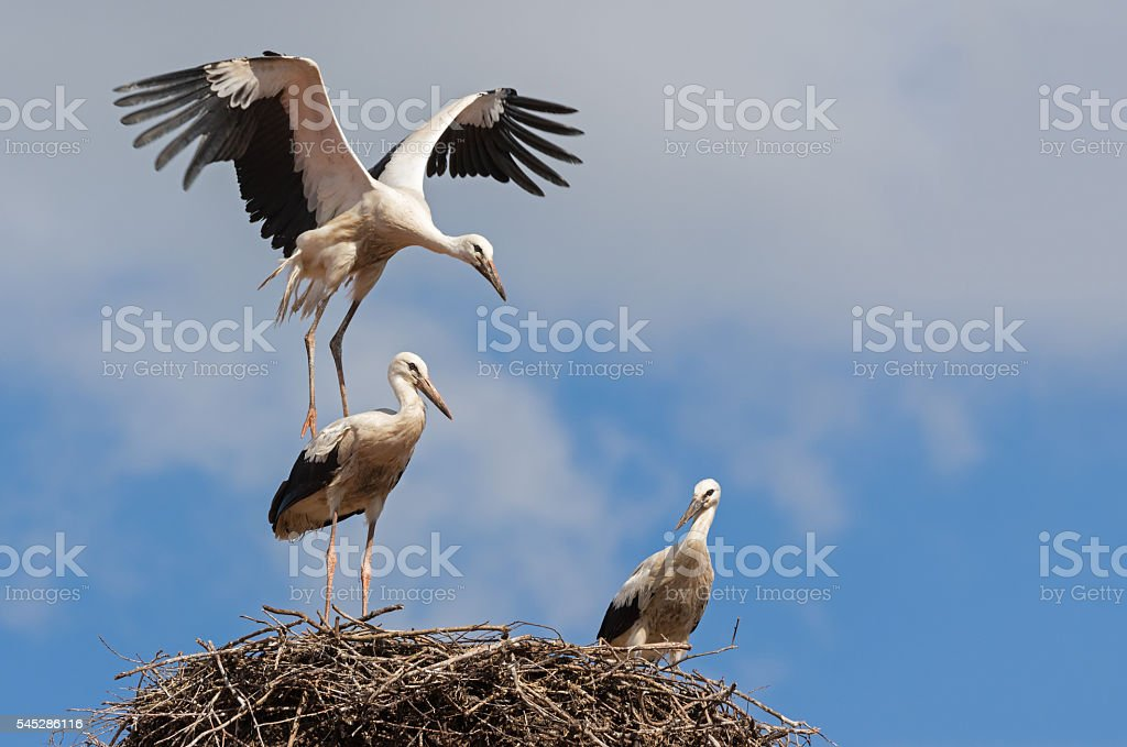 Playful young white storks (Ciconia ciconia) on a nest stock photo
