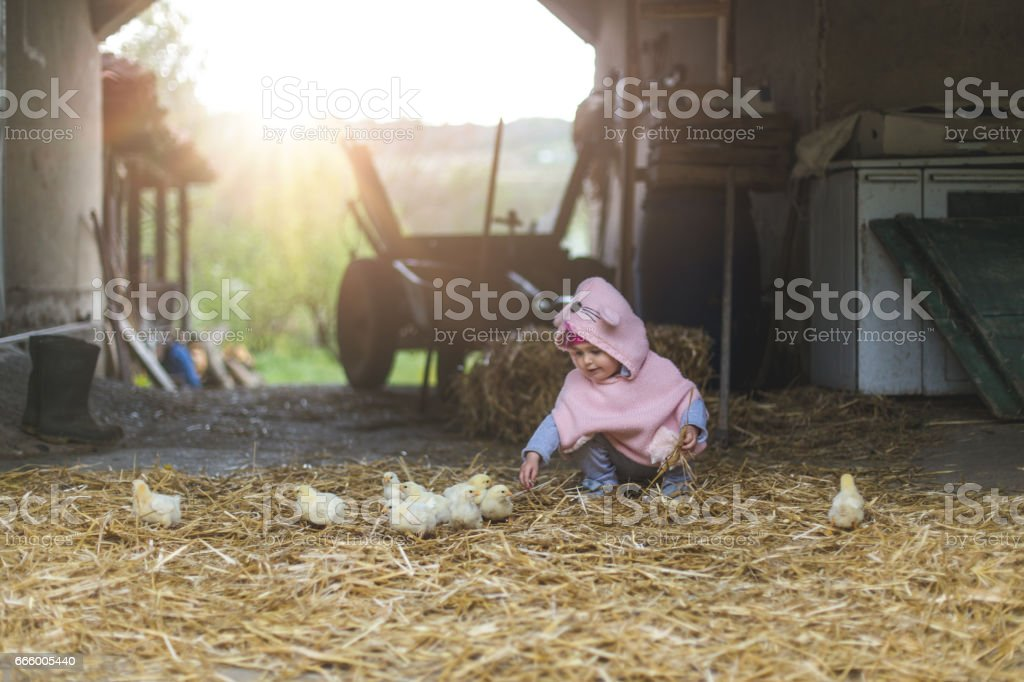 Playing and touching little chicken birds stock photo
