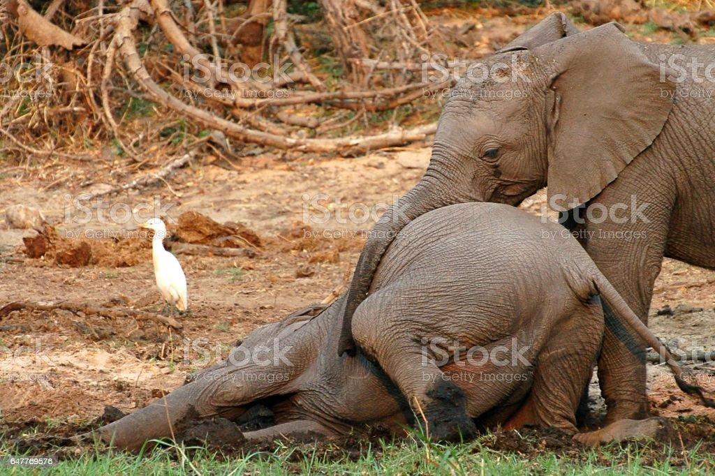 Playing Baby Elephants in Botswana stock photo