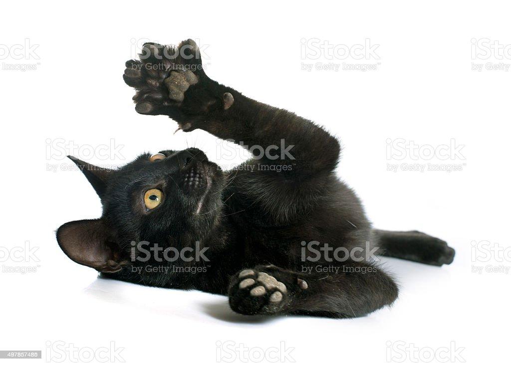 playing black kitten stock photo