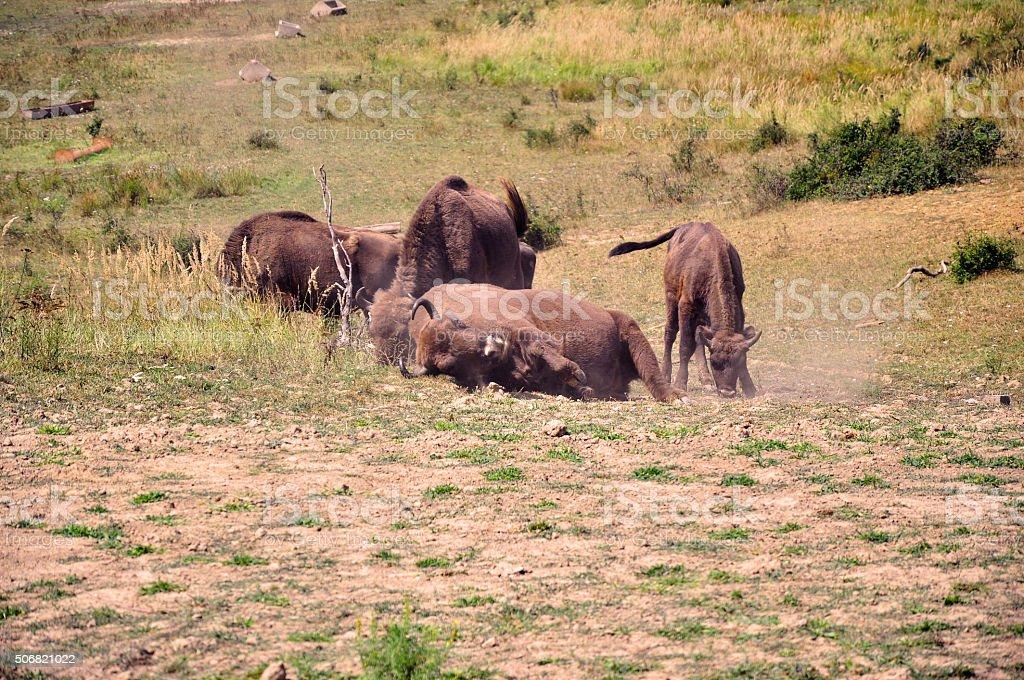 Playing buffalo stock photo