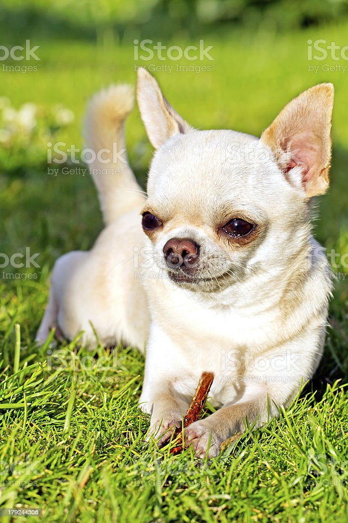 playing cute dog royalty-free stock photo