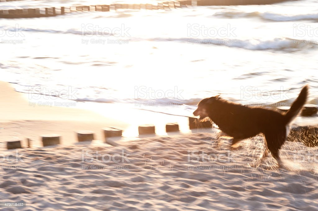 Playing Dog on the Baltic Sea stock photo