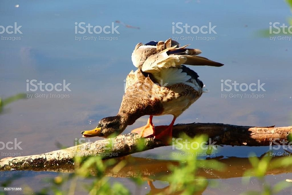 Playing Duck stock photo