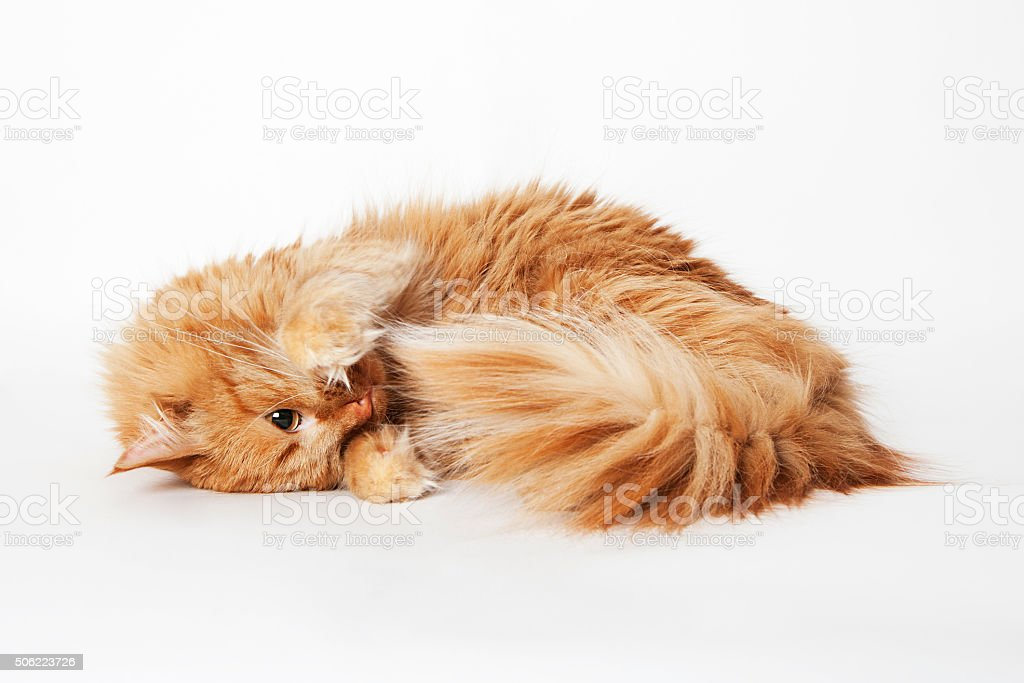 playing ginger cat stock photo