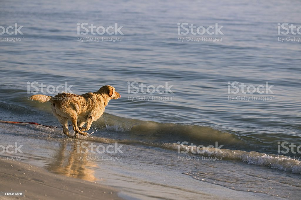 Playing Golden Retriever royalty-free stock photo