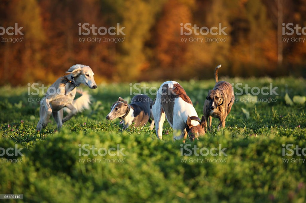 Playing Greyhounds royalty-free stock photo