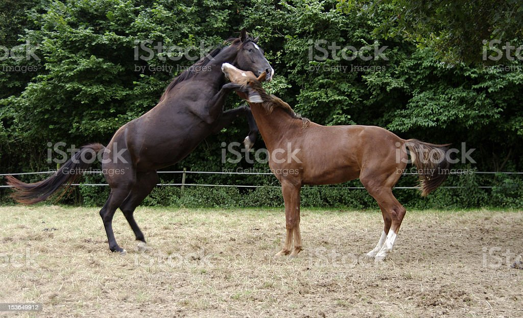 Playing horses royalty-free stock photo