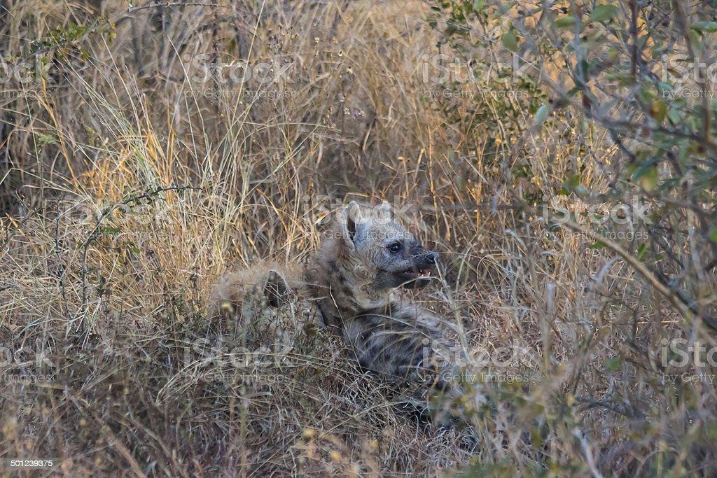 Playing hyena pups 1 stock photo