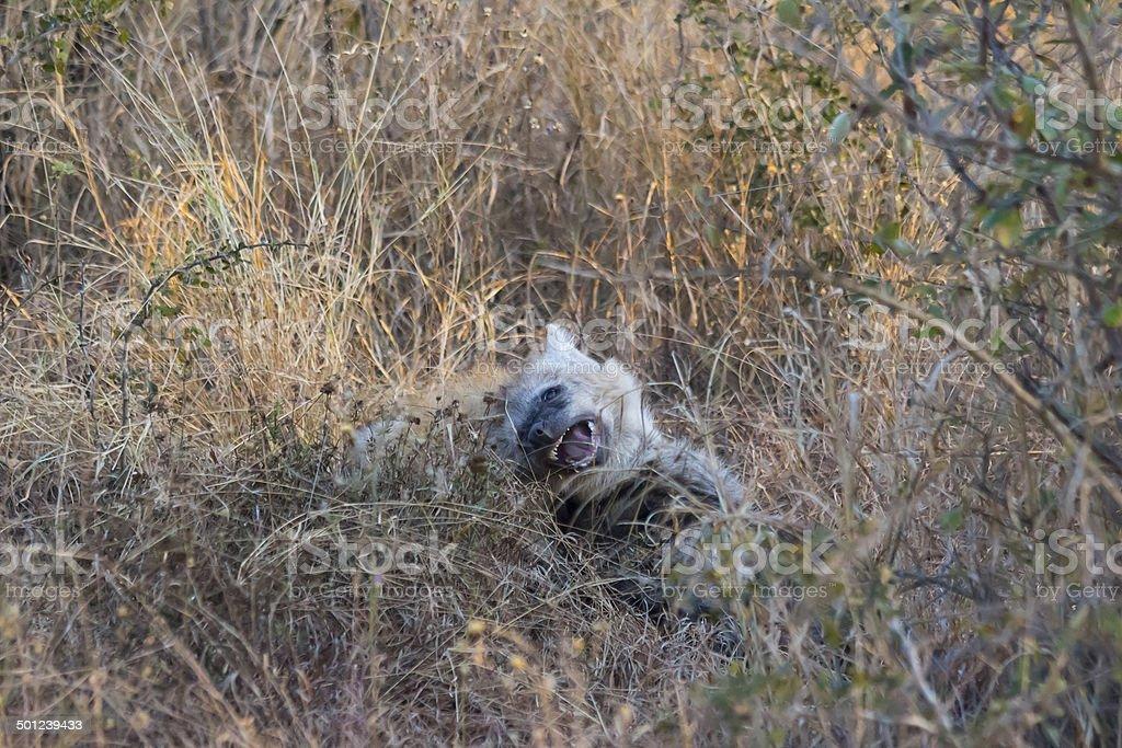 Playing hyena pups 2 stock photo