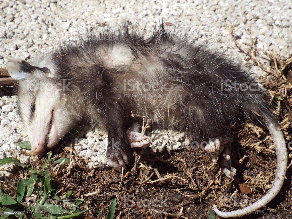 Playing Possum stock photo