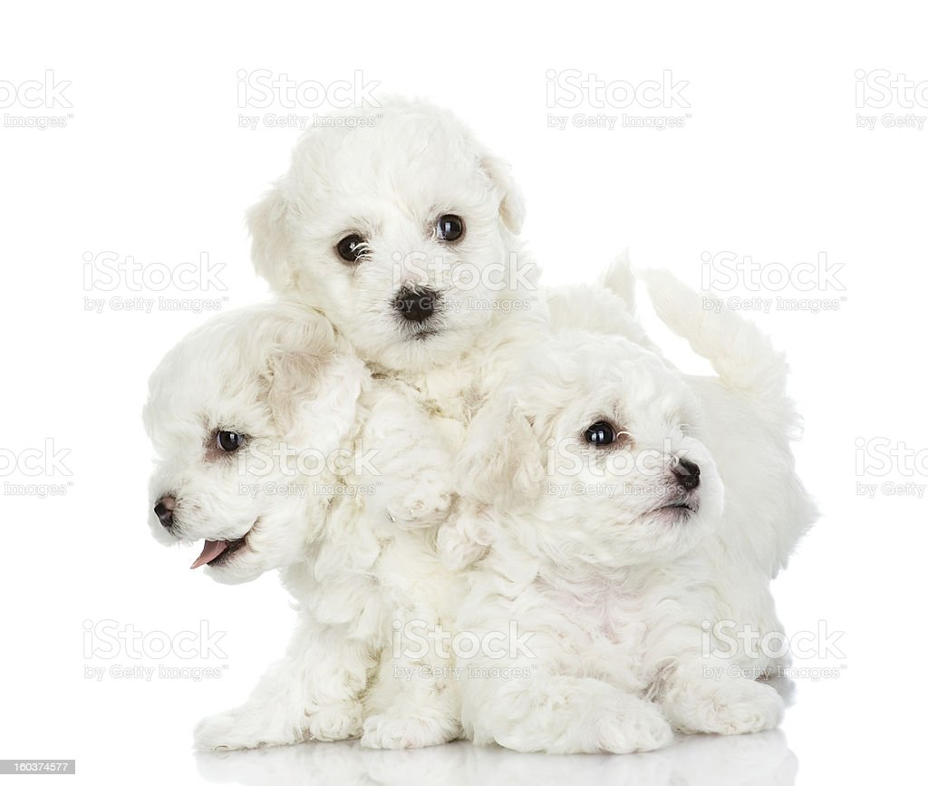 playing puppies of a lap dog royalty-free stock photo