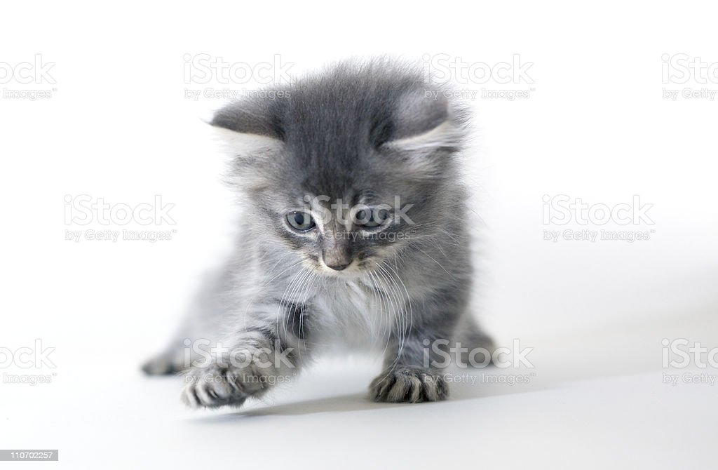 playing silver Siberian cat kitten in front of white wall royalty-free stock photo