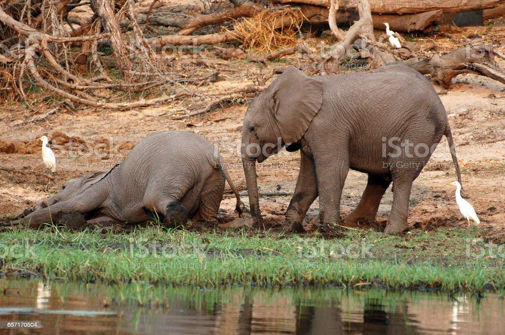 Playing small Elephants in Botswana stock photo
