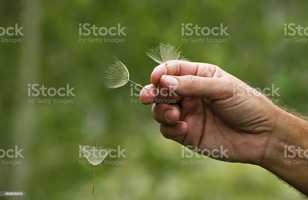 Playing with Dandelion Seeds royalty-free stock photo