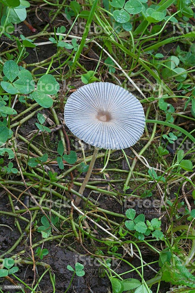 Pleated inkap mushroom stock photo